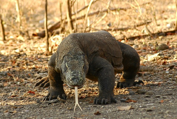 Foto de um Dragão de Komodo de frente.