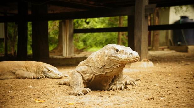 Foto de dois Dragões de Komodo.