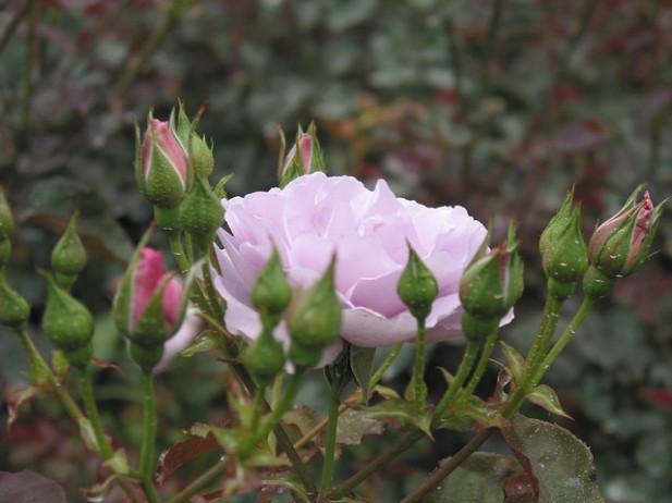 Foto de rosa.
