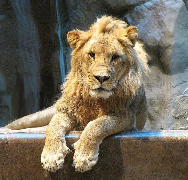 Foto de leão.