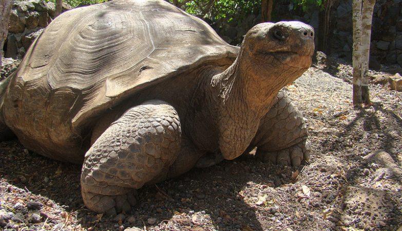 A tartaruga Pepe, o Missionário, das Ilhas Galápagos