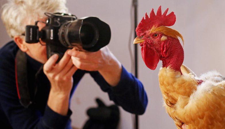 Alex Ten Napel, fotógrafo de galinhas